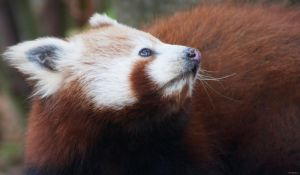Red Panda 2 by Globaludodesign