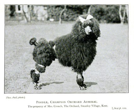 Poodle by Step-in-Time-Stock