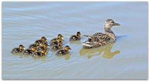 Mother Duck and Her Babies by SalemCat