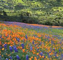Lupine and Poppies by ernieleo