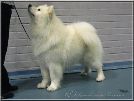 The Samoyed dog by Tabaluca-chihuahua