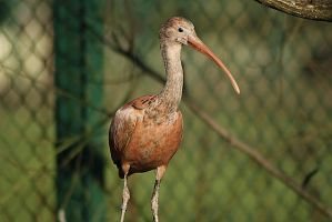 red ibis 2 by marob0501