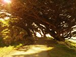 Trees @ Point Reyes Lighthouse by DiMiles