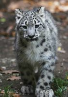 Snow leopard I by Parides
