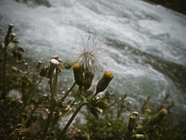 dandelion at the falls by mysteriousfantasy