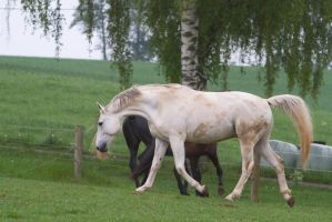 White Warmblood Trotting on Pasture by LuDa-Stock