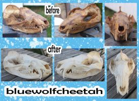 Possum Skull-Before and After by BlueWolfCheetah