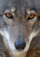IITE Red Wolf Full by Jack-13