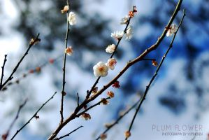 Plum flower by reiime