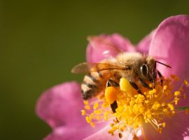 Honey Bee by federspiel