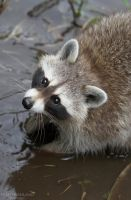 The Raccoon by NorthernLand