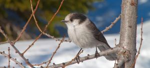 Gray Jay on a branch by freixas