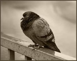 Pigeon in the rough world by BinaDog
