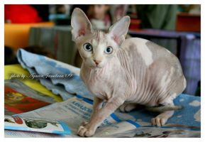cat show 2, sphinx kanad. by Jamilaaa