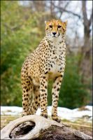 cheetah72 by redbeard31