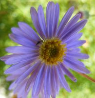 Purple Daisy Macro by Gracies-Stock