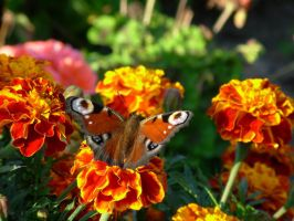 Butterfly by Haziness