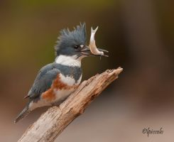 Kingfisher by Les-Piccolo