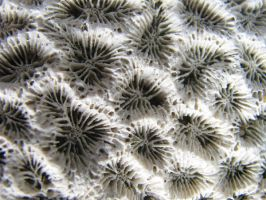Coral Texture 01. by stock-basicality