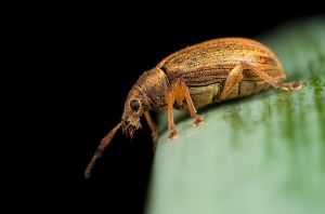 Weevil on the Edge by Alliec