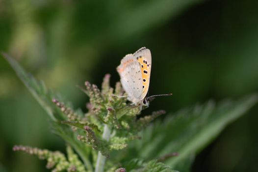 Butterfly3 by AstridMargrethe