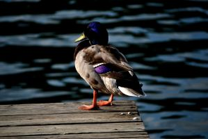Mallard Sittin on the Dock of the Bay by AmbitiousArtisan