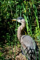 Great Blue Heron by Zaralith