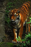 Tigress by Shadow-and-Flame-86