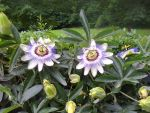 Blue Passion Flower - Passiflora Caerulea by Gheldhon