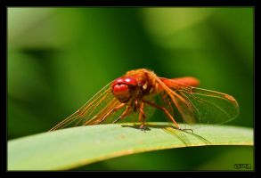Small Red Dragonfly by ernieleo