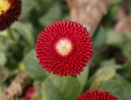 Small Red Pointy Flower 2 by BlueFireVixon
