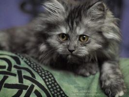 The persian kitty VII by tipoe