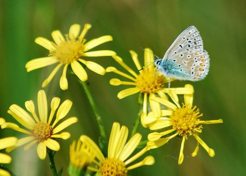 Common Blue in profile by moonhare77