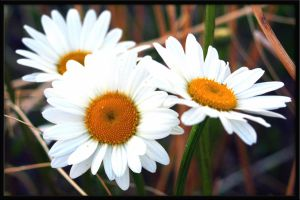 Three daisy sisters by allaboutbritt