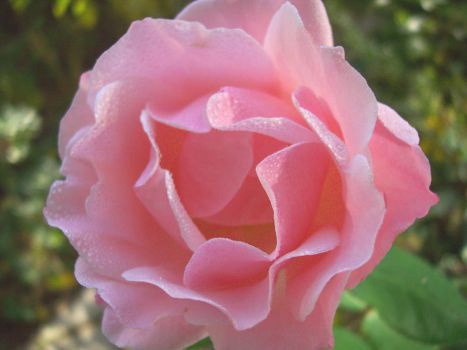 rosa by Don-Carlo