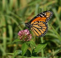 Monarch on Clover I by natureguy