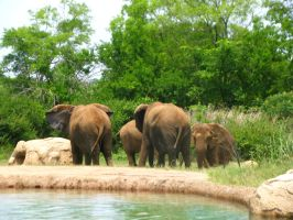 Elephants Nashville Zoo 2012 5 by TheNormal1