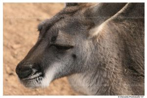 Kangaroo Portrait by TVD-Photography