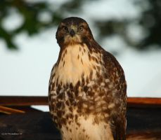 July Morning Hawk II by natureguy