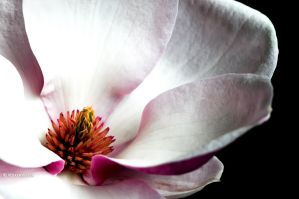 magnolia by vw1956