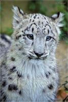 Daydreaming snow leopard by Triumfa
