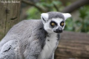 Ring-tailed lemur by MichelleB-Stock