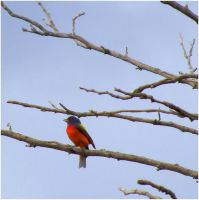 Painted Bunting by SuicideBySafetyPin