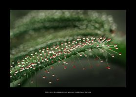 Sundew by Hector42