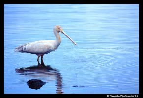 Spoonbill II by TVD-Photography
