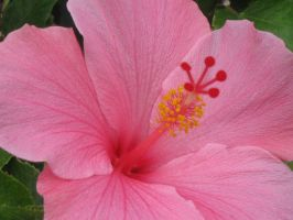 215 Pink Hibiscus by crazygardener