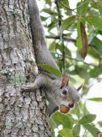 Squirrel on tree by jelbo