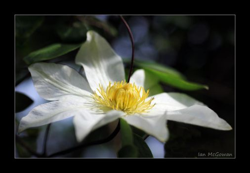 Clematis sorcery . by 999999999a