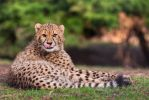 Young Cheetah by darkSoul4Life