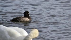 Tufted Duck - A special visitor by Jetstream1118